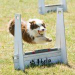 flyball_dog